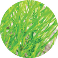 Horsetail Sigrid Naturals Ingredients