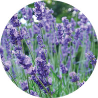 Load image into Gallery viewer, Lavender Sigrid Naturals Ingredients