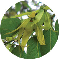 Load image into Gallery viewer, Ylang Ylang Sigrid Naturals Ingredients