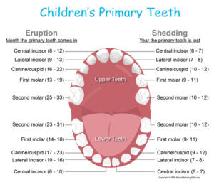 Stages of Teething and Shedding c/o Kids Dental Online
