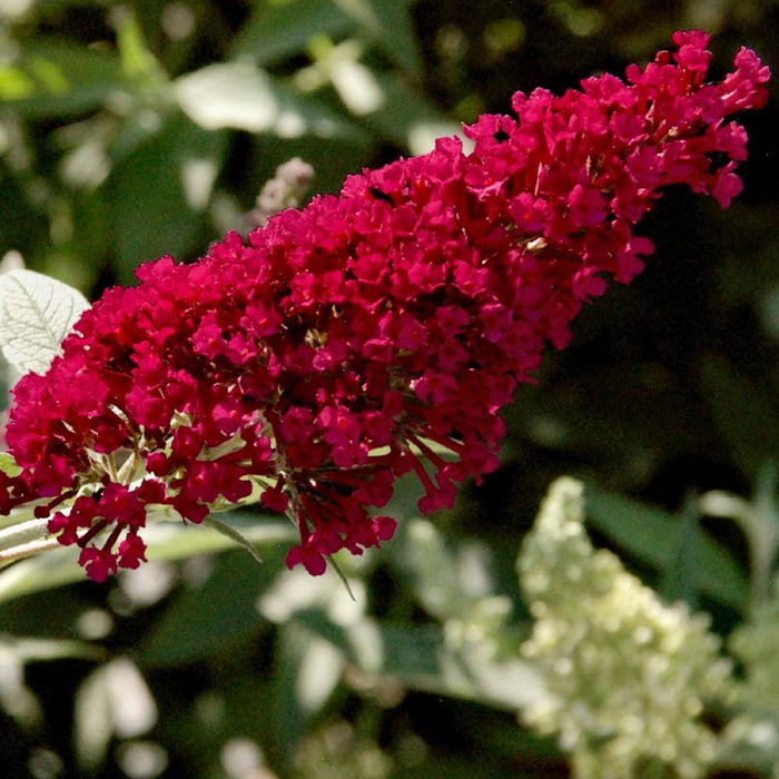 BUDDLEIA DAV. 'ROYAL RED' 2GAL