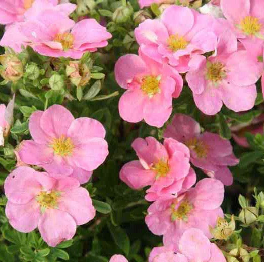 POTENTILLA FRUT. 'PINK BEAUTY' 2GAL