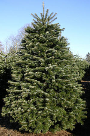 Balsam Fir Cut Christmas Tree 6-7ft
