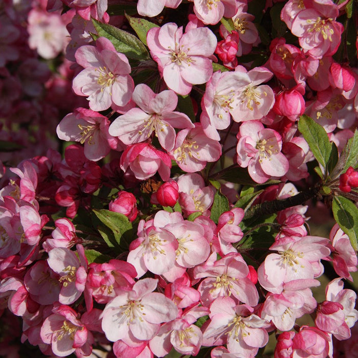 Malus Coralburst Std. * 4' Stem 7Gal Flowering Crabapple
