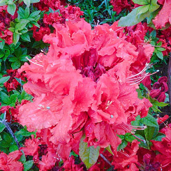 Azalea Deciduous RED DEMON 2 Gal