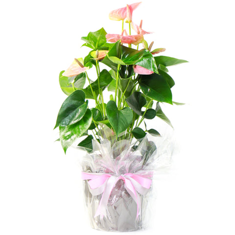 Anthurium (50cm Height)
