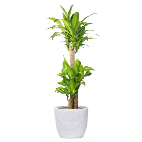 Dracena Massangeana (130cm Height)