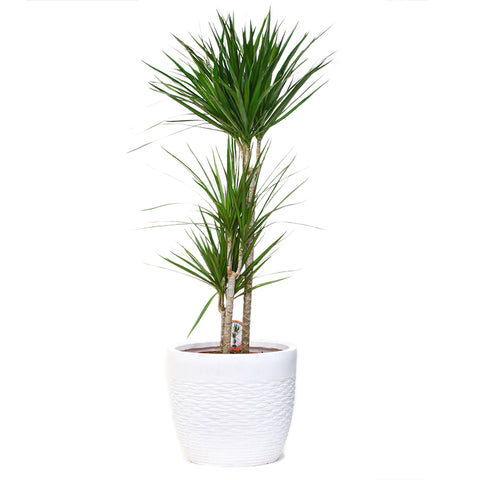 Dracaena (110cm Height)
