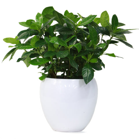 House Plant (40cm Height)