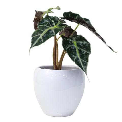 Ornamental Plant (40cm Height)
