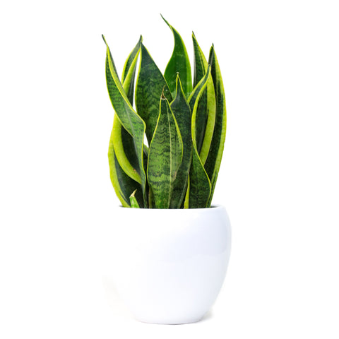 Snake Plant (40cm Height)