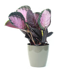 Calathea picturata Crimson (40cm Height)