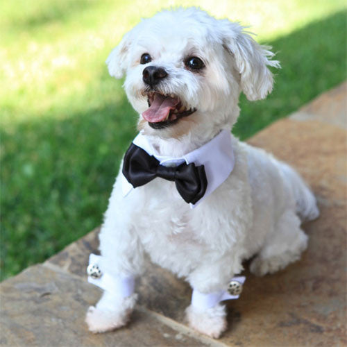 Dog In The Closet Tuxedo White Shirt Collar with Black Bow Tie and Cuffs on Dog