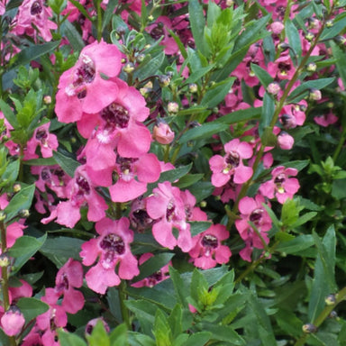 "Angelonia 4.5"" Potted Annuals for sale kollmans greenhouse twinsburg oh"