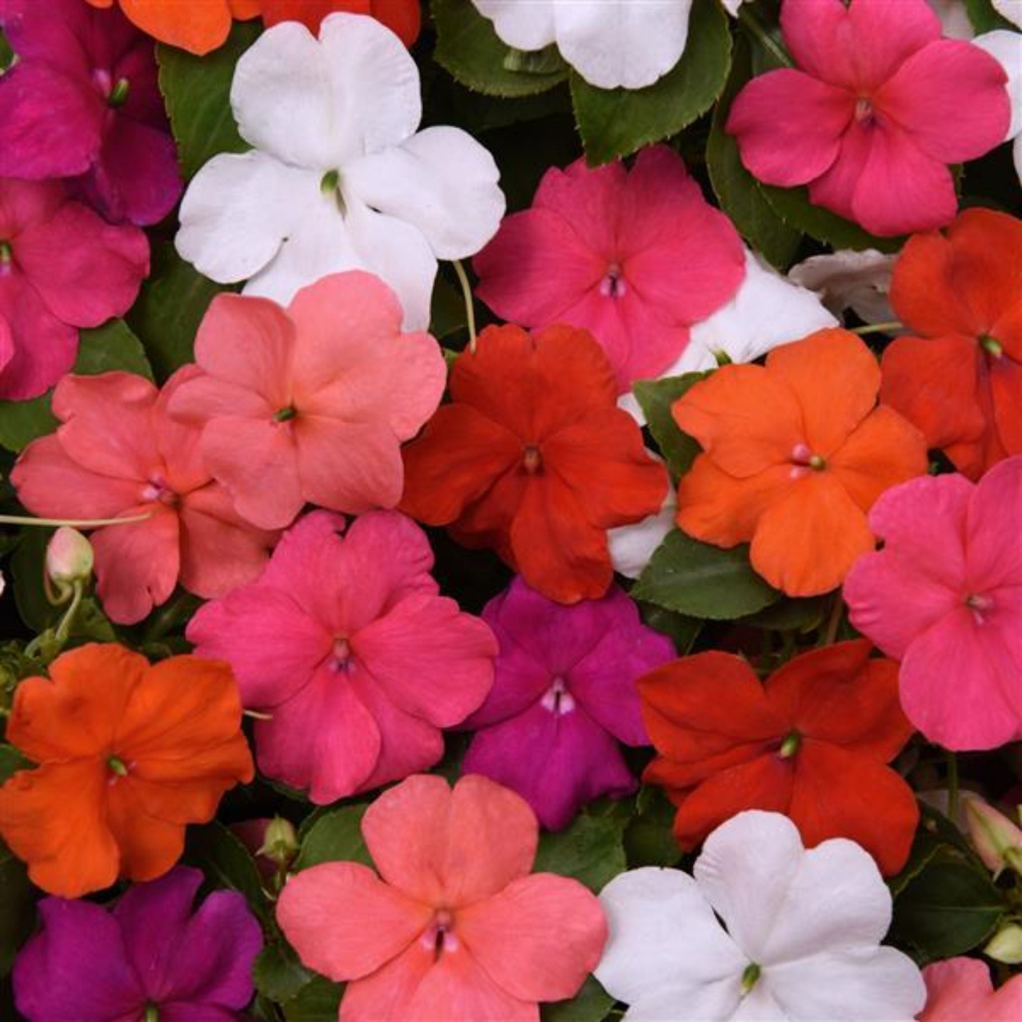 Impatiens Flats for sale kollmans greenhouse twinsburg oh