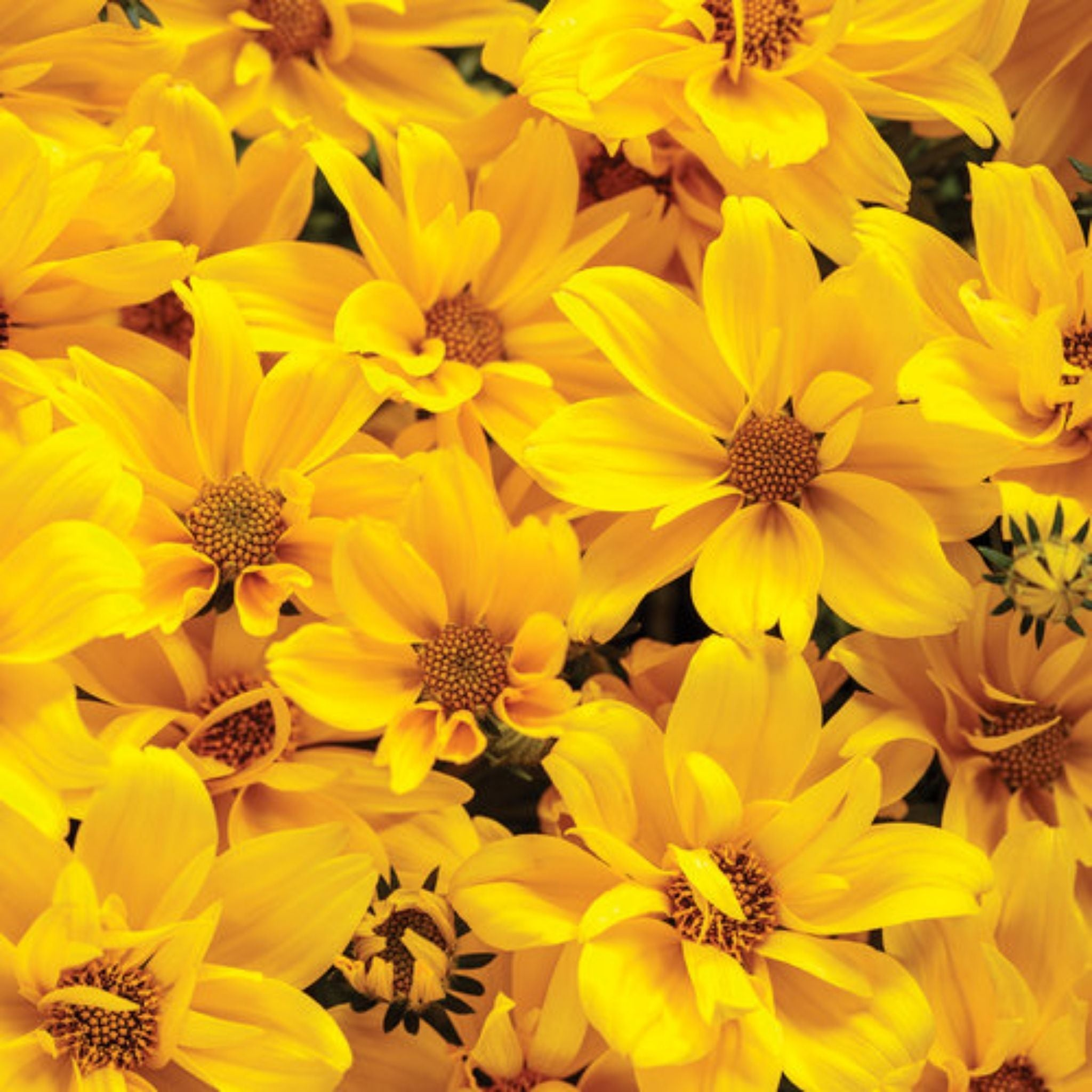 "Bidens 4.5"" Potted Annuals for sale kollmans greenhouse twinsburg oh"