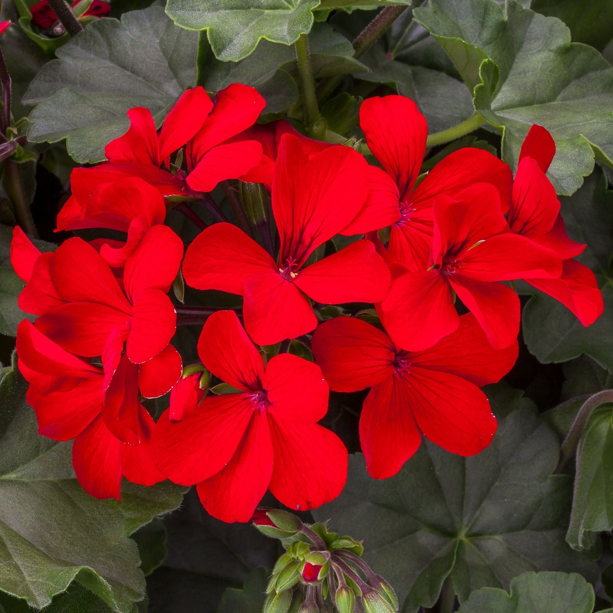 Geranium Plant Sacks for sale kollmans greenhouse twinsburg oh