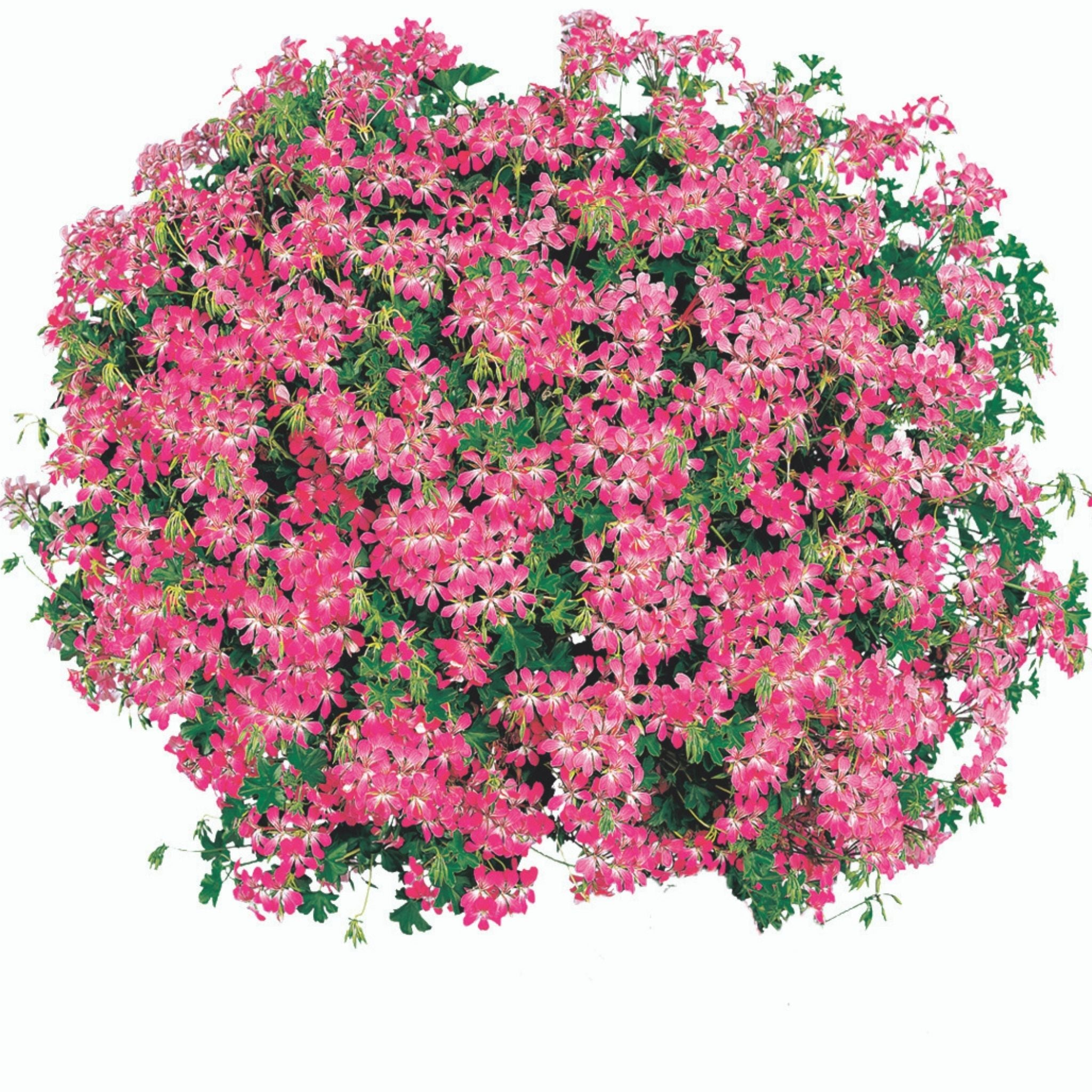 "10"" Geranium Hanging Basket for sale kollmans greenhouse twinsburg oh"