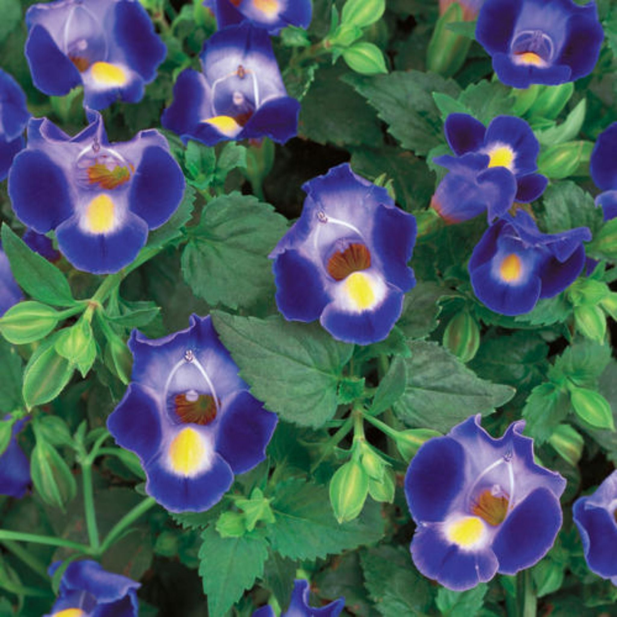 "Torenia 4.5"" Potted Annuals for sale kollmans greenhouse twinsburg oh"