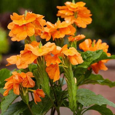 "Crossandra 4.5"" Potted Annuals for sale kollmans greenhouse twinsburg oh"