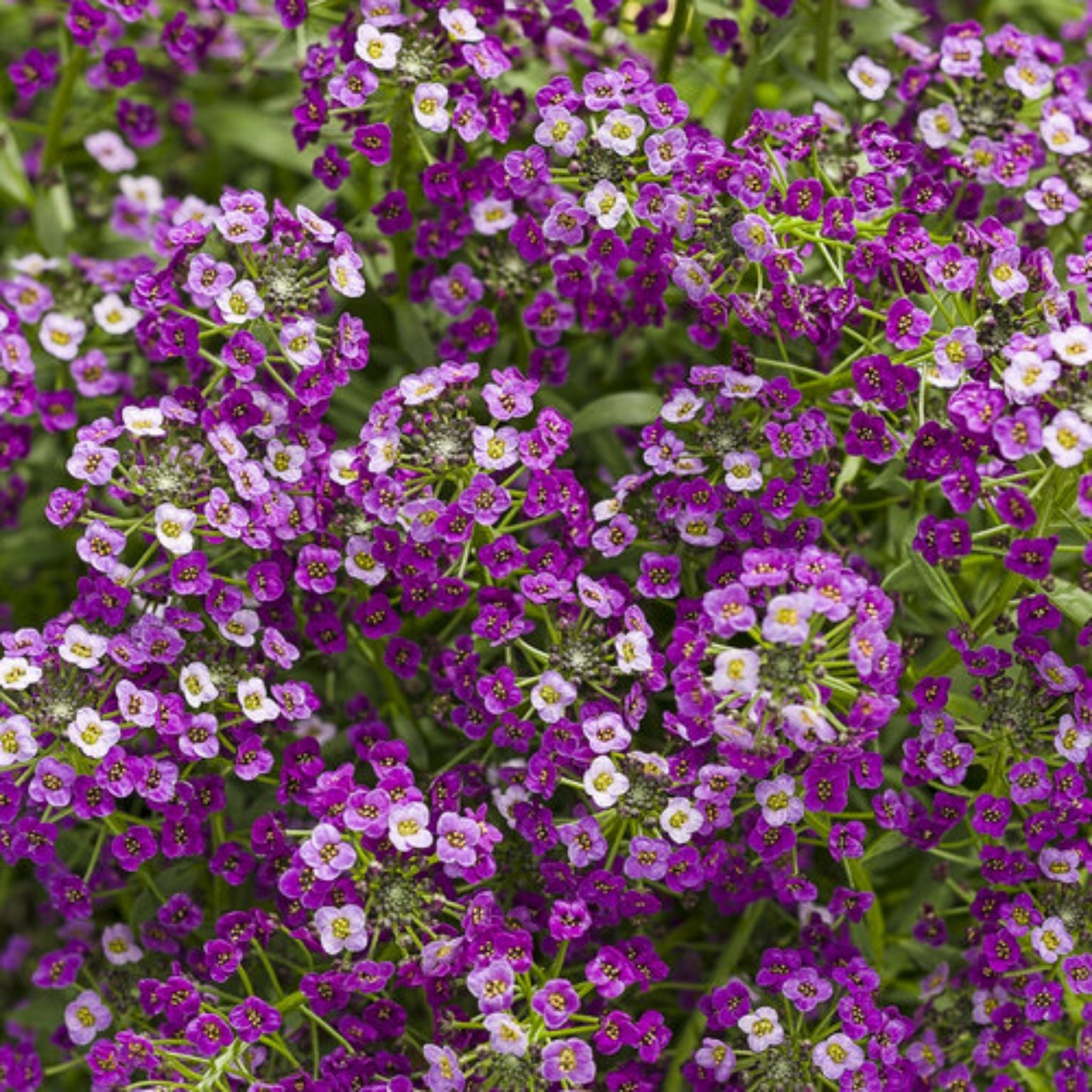 Lobularia Potted Annuals for sale kollmans greenhouse twinsburg oh