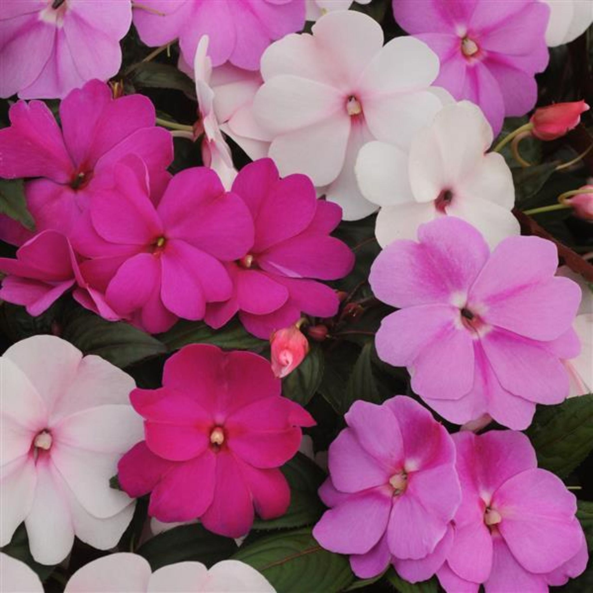 Impatiens (New Guinea) Flats for sale kollmans greenhouse twinsburg oh