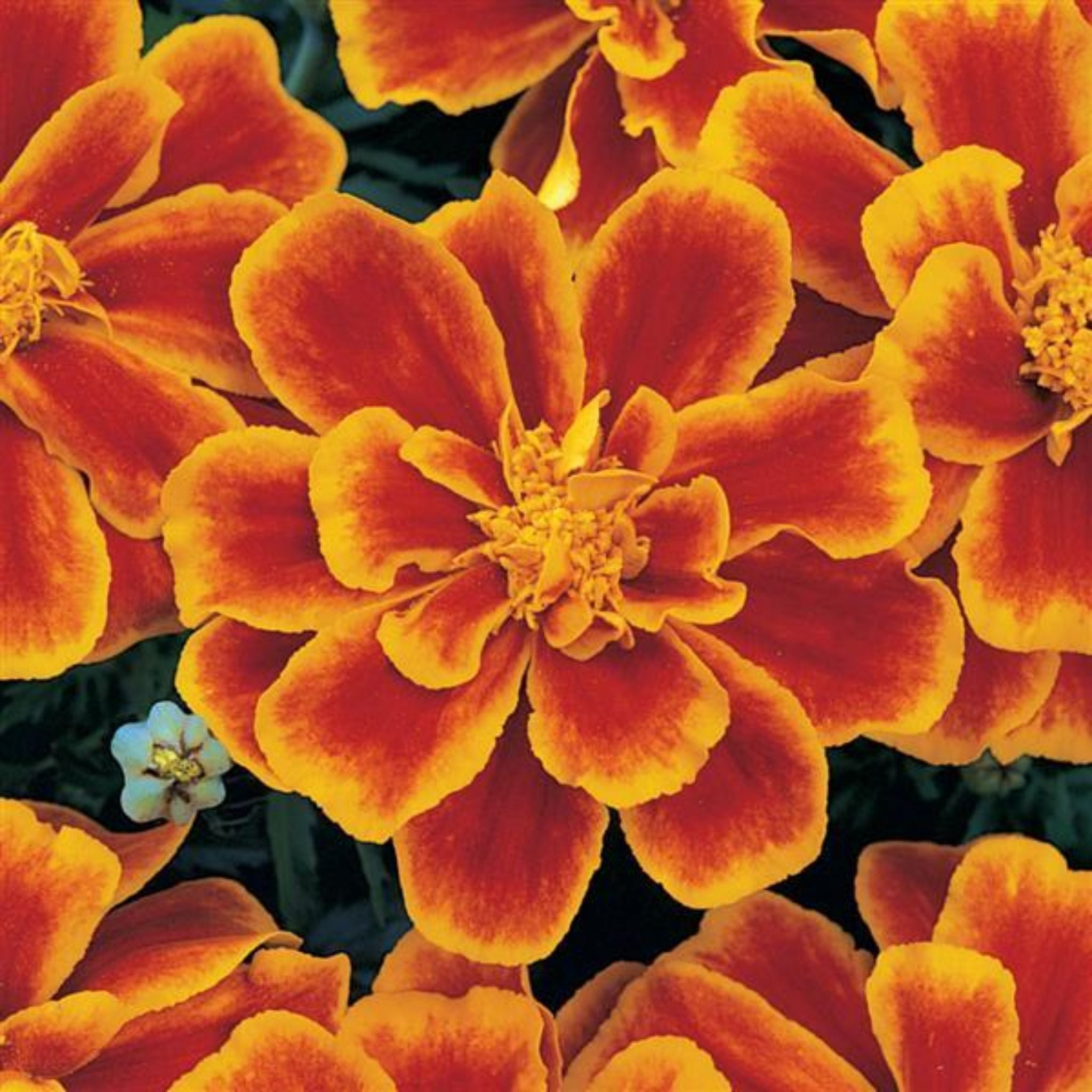 Marigold Flats for sale kollmans greenhouse twinsburg oh