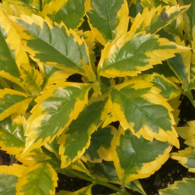 Duranta Gallon Potted Annuals for sale kollmans greenhouse twinsburg oh