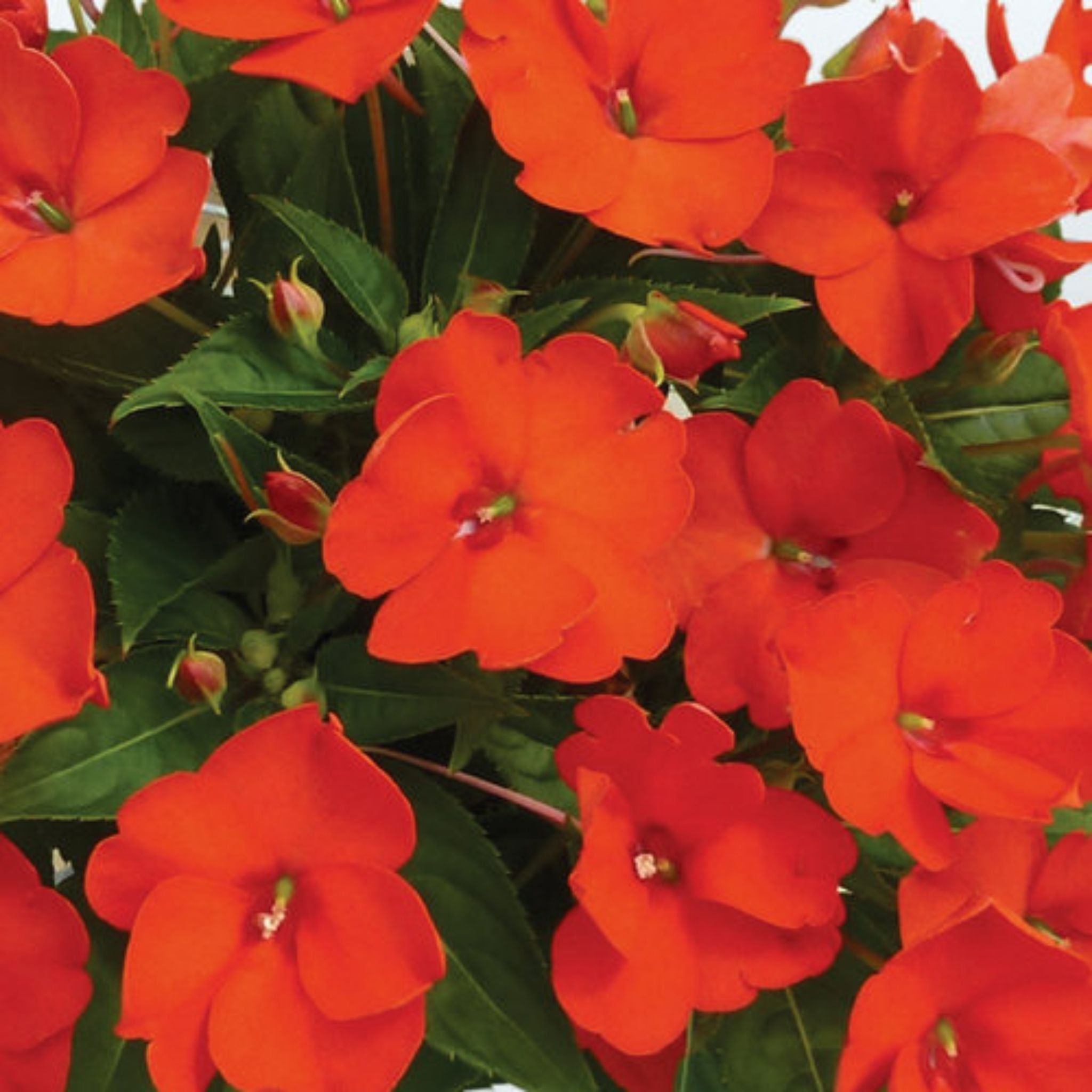 "Sunpatiens 6.5"" Potted Annuals for sale kollmans greenhouse twinsburg oh"