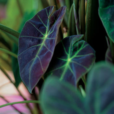 Alocasia/Colocasia Gallon Potted Annuals for sale kollmans greenhouse twinsburg oh