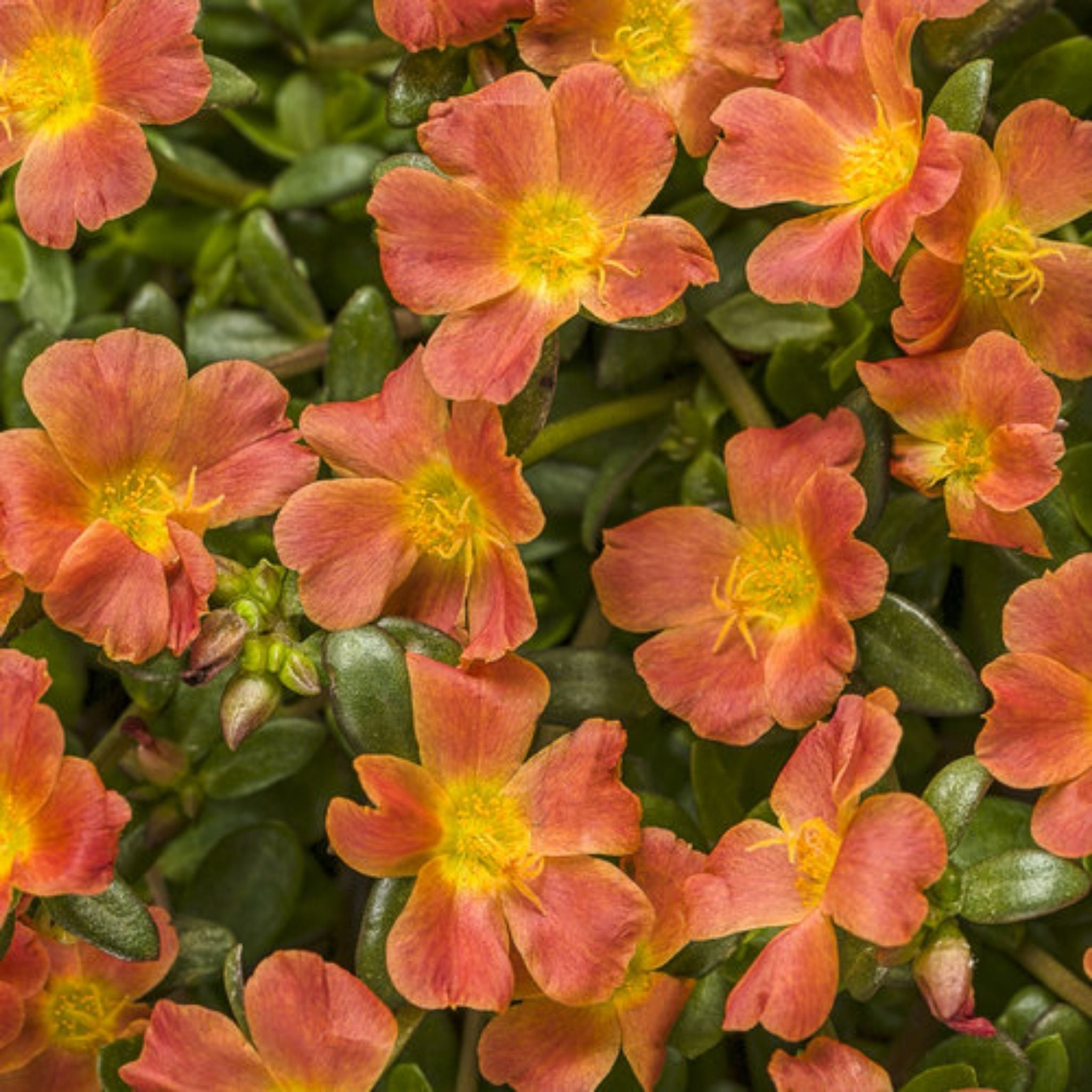 "10"" Portulaca Hanging Baskets for sale kollmans greenhouse twinsburg oh"