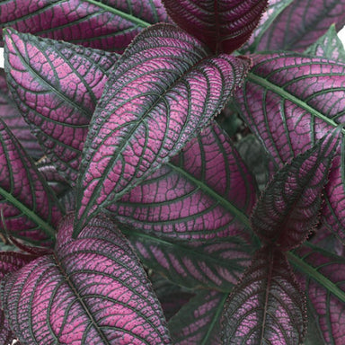 Strobilanthes Potted Annuals for sale kollmans greenhouse twinsburg oh