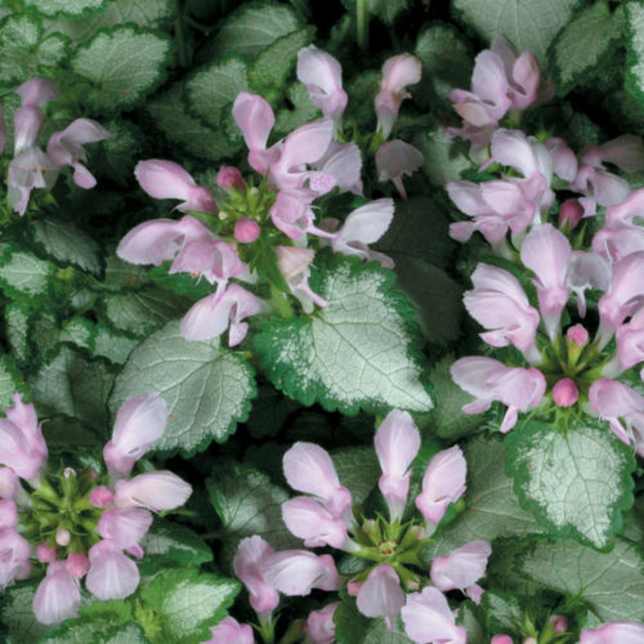 "Lamium 4.5"" Potted Annuals for sale kollmans greenhouse twinsburg oh"