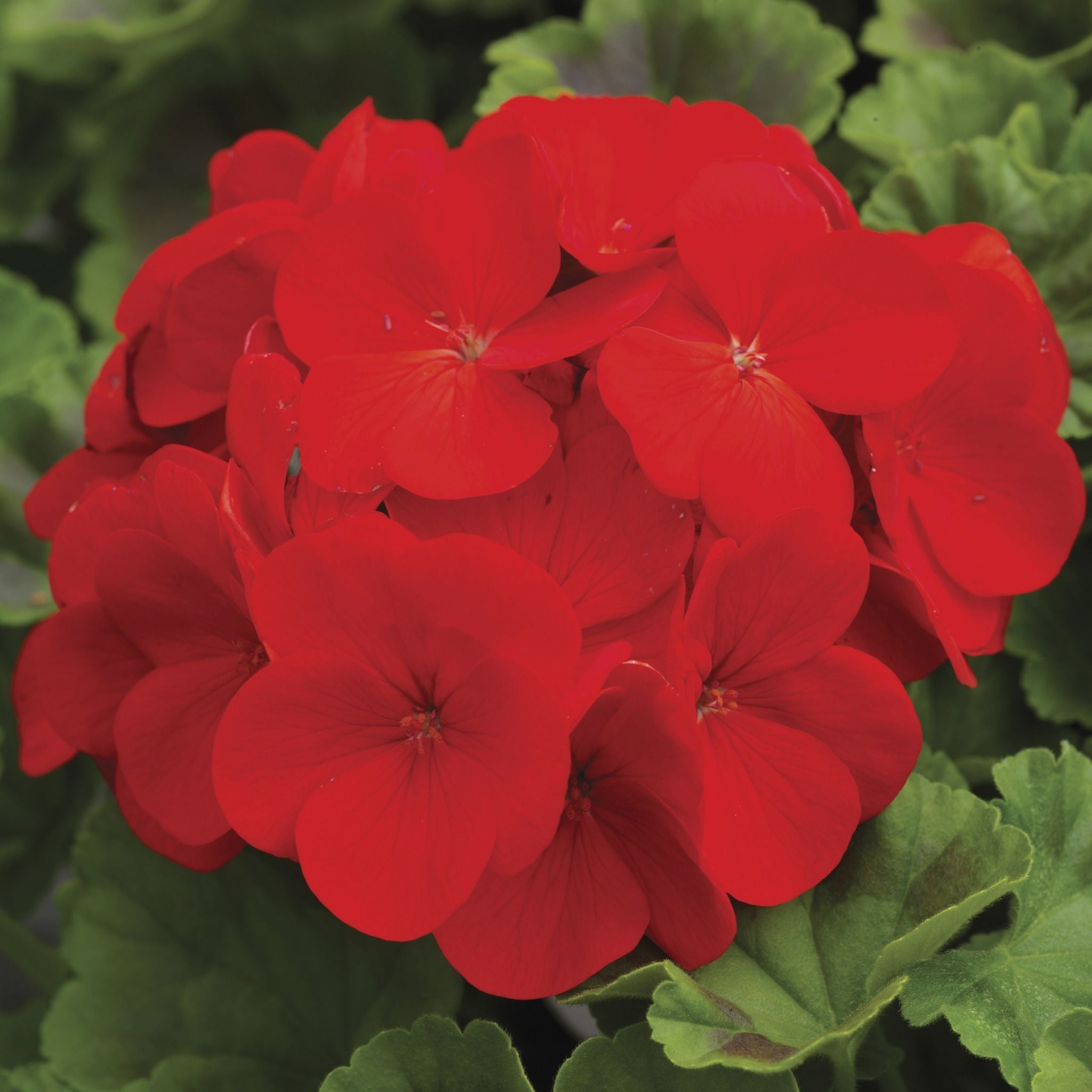 Geranium Flats for sale kollmans greenhouse twinsburg oh