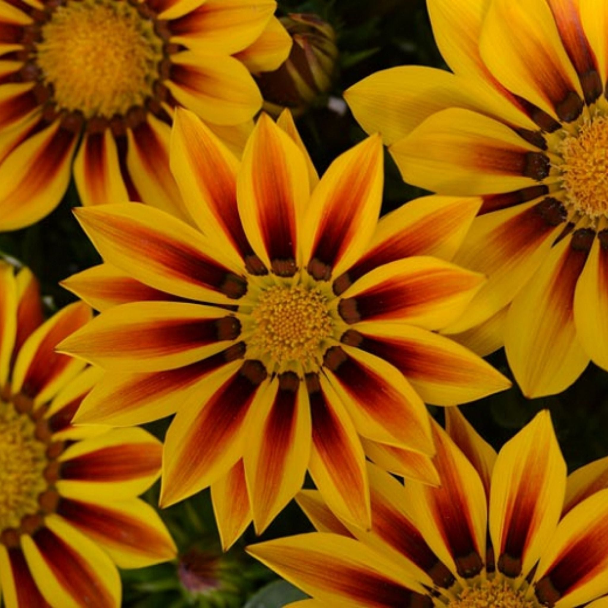 Gazania Flats for sale kollmans greenhouse twinsburg oh