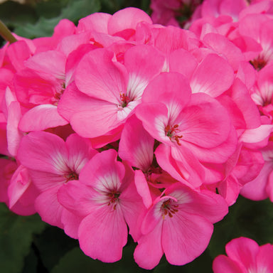 "Geranium 4.5"" Potted Annuals for sale kollmans greenhouse twinsburg oh"