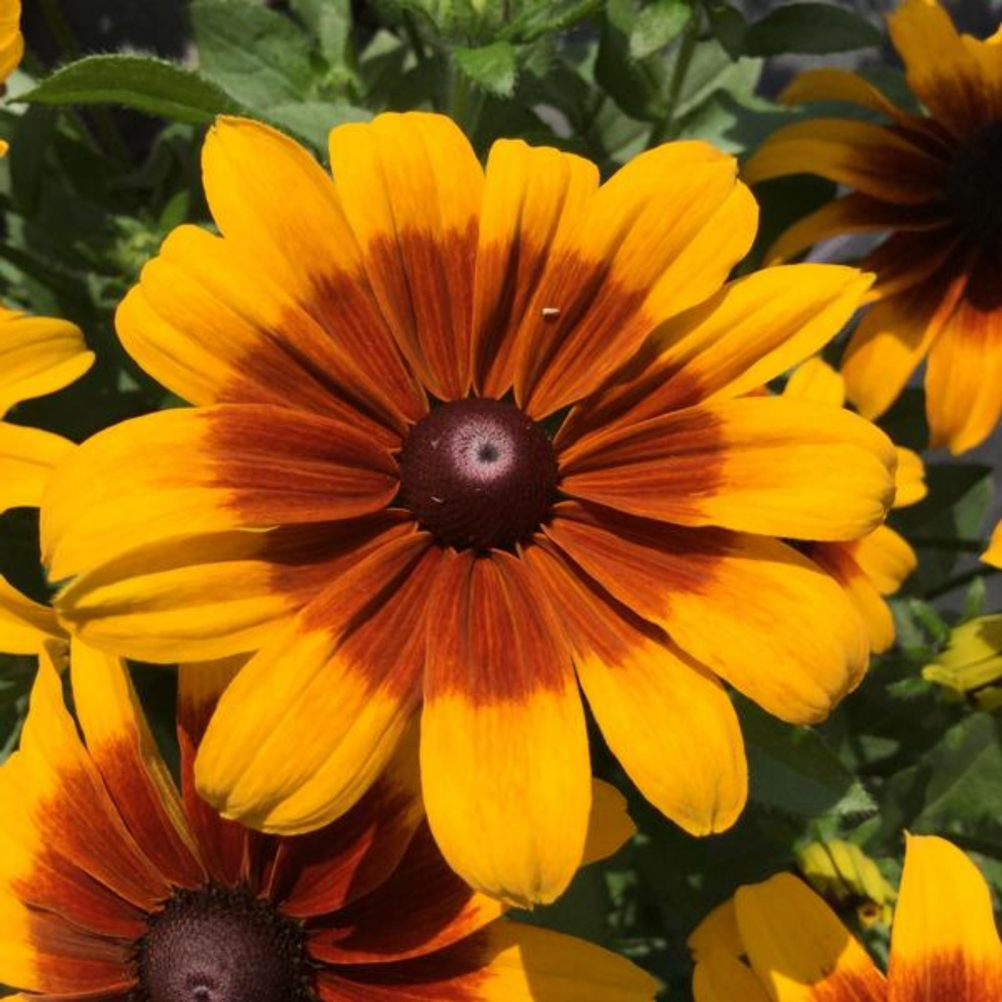 Rudbeckia Gallon Potted Annuals for sale kollmans greenhouse twinsburg oh