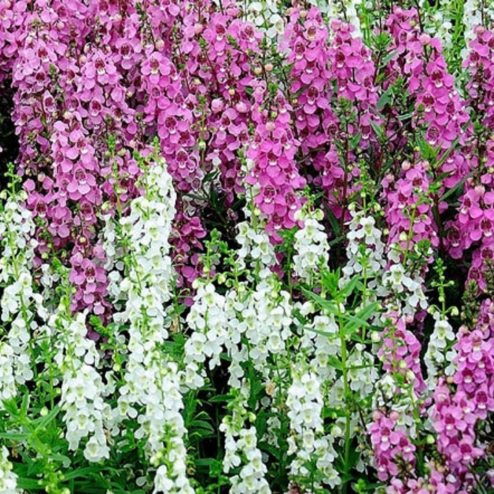 Angelonia Flats for sale kollmans greenhouse twinsburg oh
