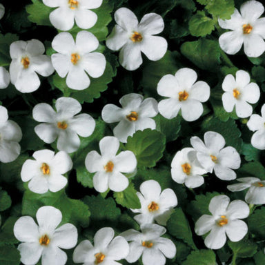 "Bacopa 4.5"" Potted Annuals for sale kollmans greenhouse twinsburg oh"