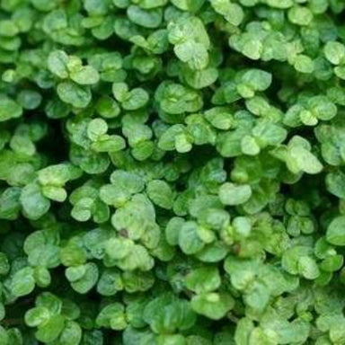 "Soleirolia 4.5"" Potted Annuals for sale kollmans greenhouse twinsburg oh"