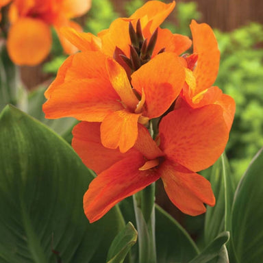Canna Lily Quarter Flats for sale kollmans greenhouse twinsburg oh