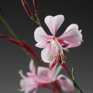 "Gaura 4.5"" Potted Annuals for sale kollmans greenhouse twinsburg oh"