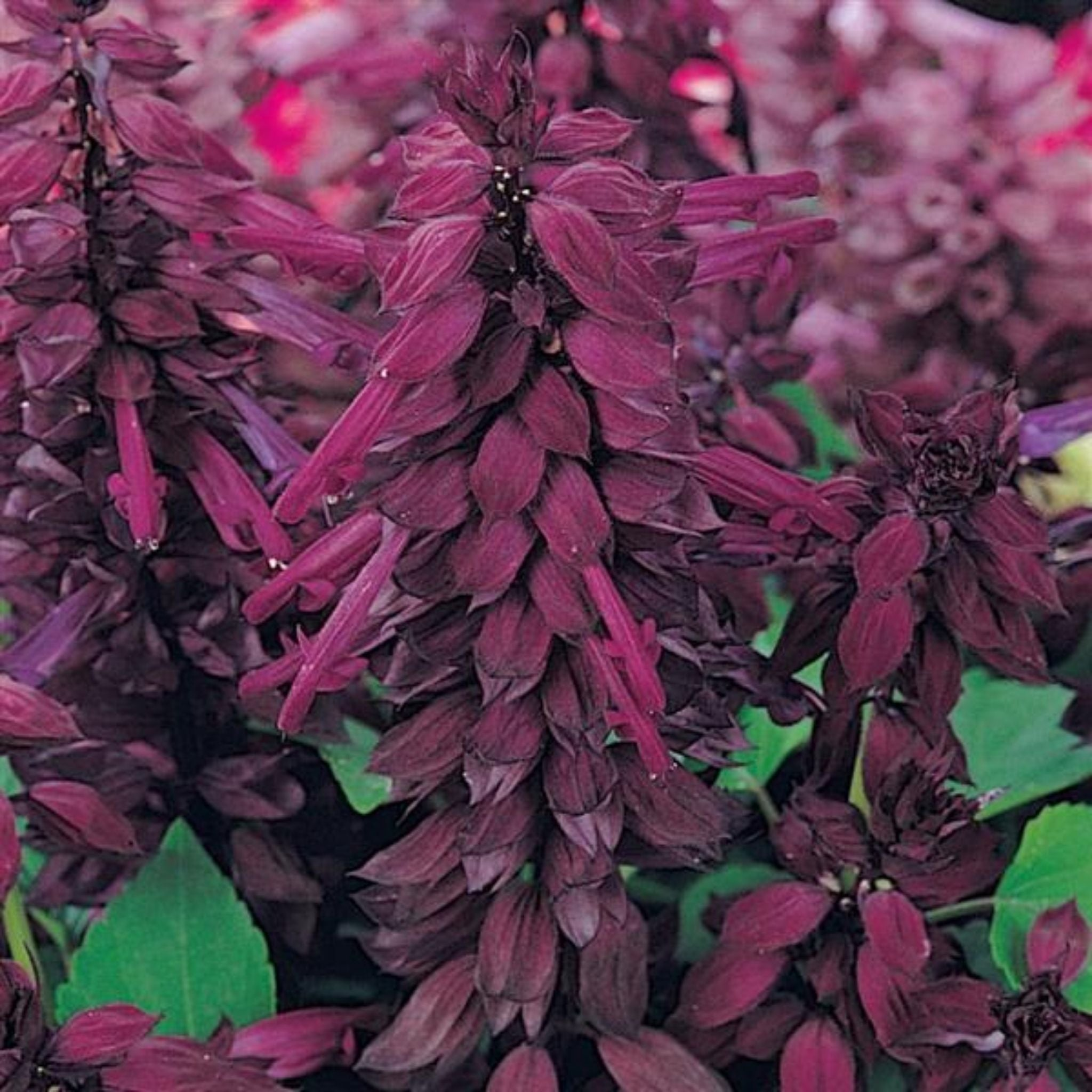 Salvia Flats for sale kollmans greenhouse twinsburg oh