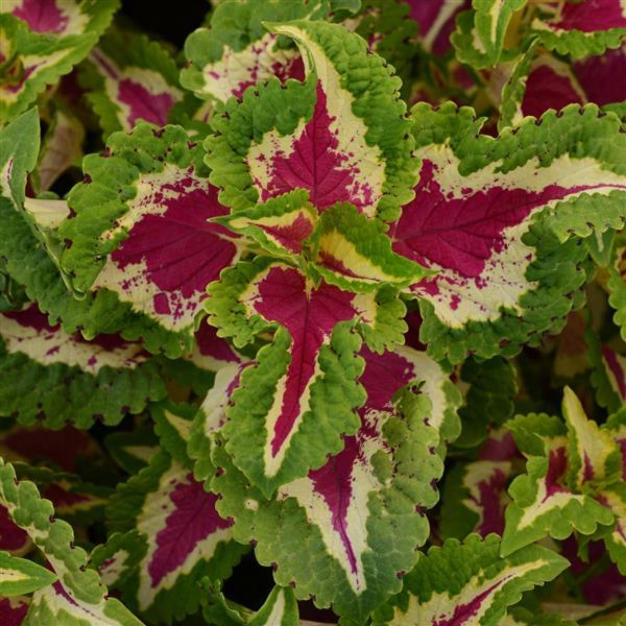 Coleus Flats for sale kollmans greenhouse twinsburg oh