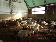 Beverly Creek Farm, a lamb operation