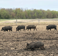 Pigs in field 4
