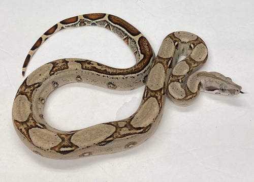 Normal Het Sterling Het Kahl Albino