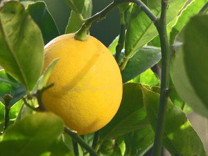 Improved Meyer Lemon Tree (dwarf)