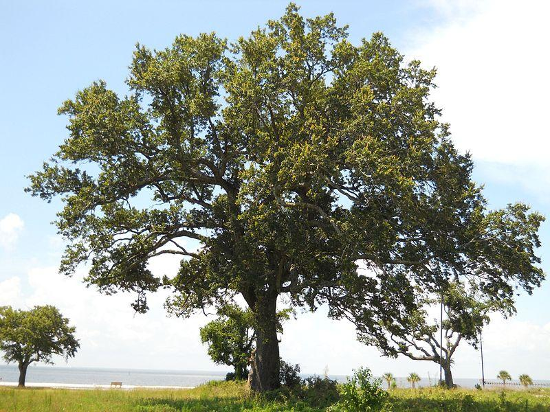 Oak, Coastal Live (native)