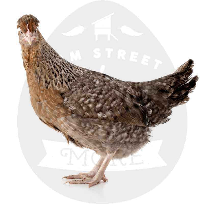 Blue Egger (golden feathers) - Large Fowl